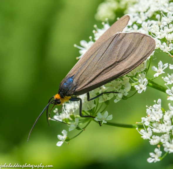 A Ctenucha moth feeds in Bishop's weed