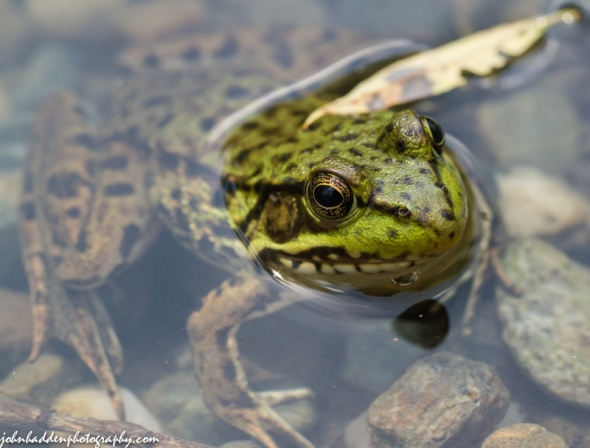 Up close with a leopard frog in our pond