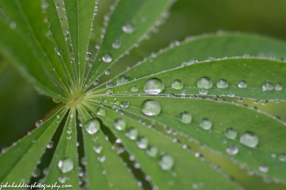 Raindrops on lupine leaves