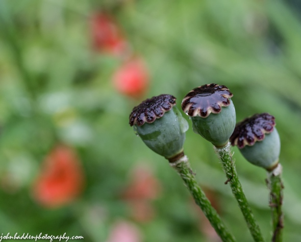 A trio of poppy heads in our back garden