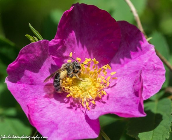 A solitary bee works a rugosa rose