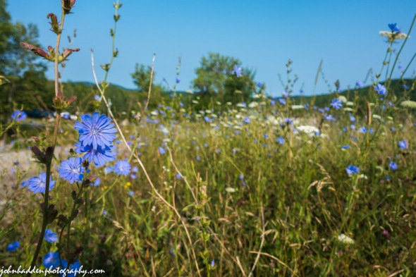 Chicory and Queen Anne's lace up along Bert White Road