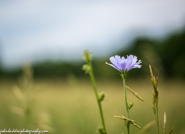 Chicory in bloom along Camel's Hump Road