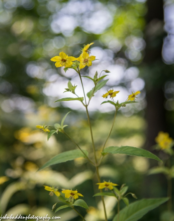 Fringed loosestrife blooming along the Lamoille River