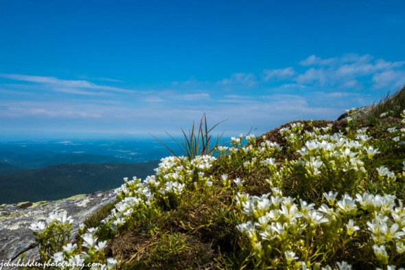 Mountain sandwort blooming near the summit of Camel's Hump