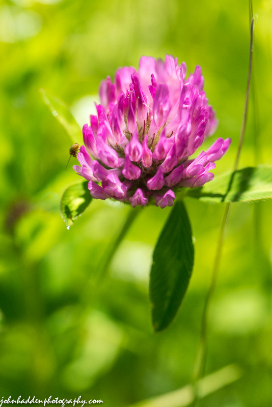 A tiny unidentified beetle visits a red clover blossom