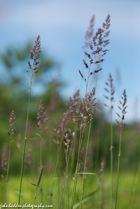 Ripening grasses in the front field