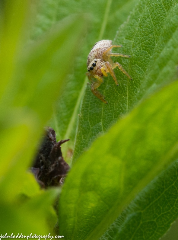 Another small jumping spider out in the front field.