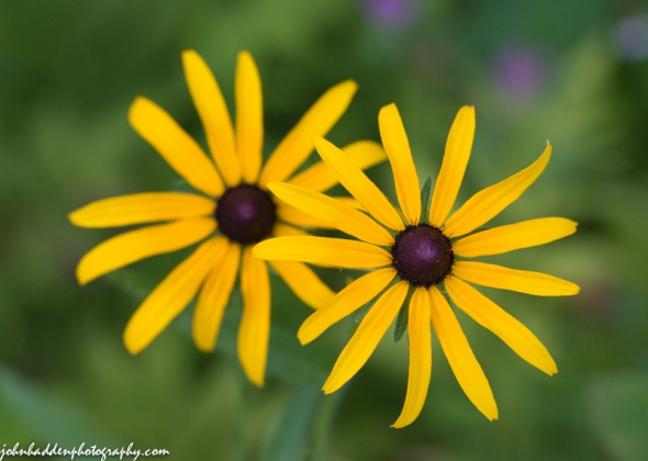 A pair of black-eyed Susans in the front field