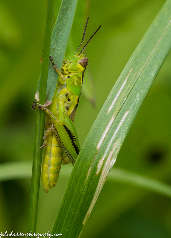 A freshly minted grasshopper in the front field