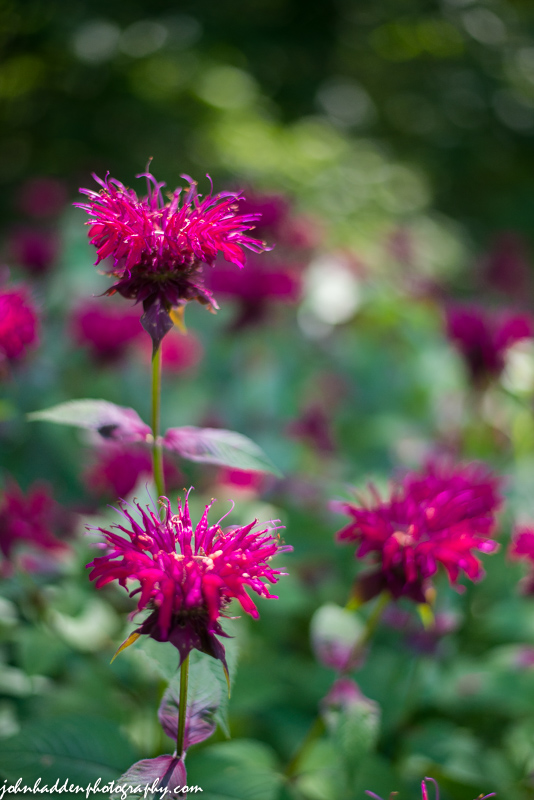 The bee balm is bright this time of year