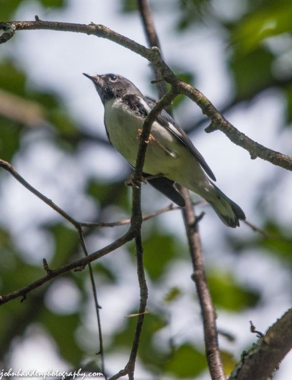 A black-thoated blue warbler hunts for insects in the birch tree next to our front porch