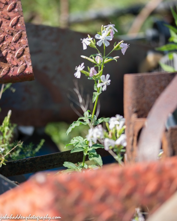 Bouncing Bet or Soapwort blooming amongst rusted metal along the rail tracks in Jonesville