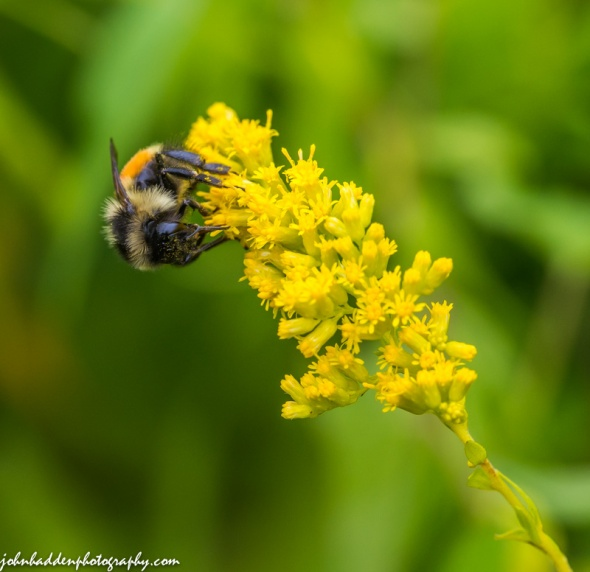 A bumble bee works a goldenrod head in our front field
