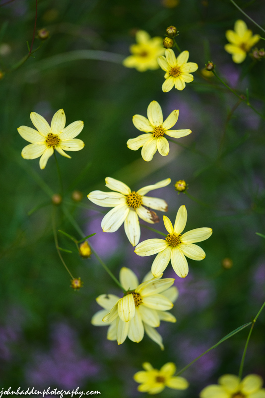 Another shot of the lovely coreopsis in our back garden.