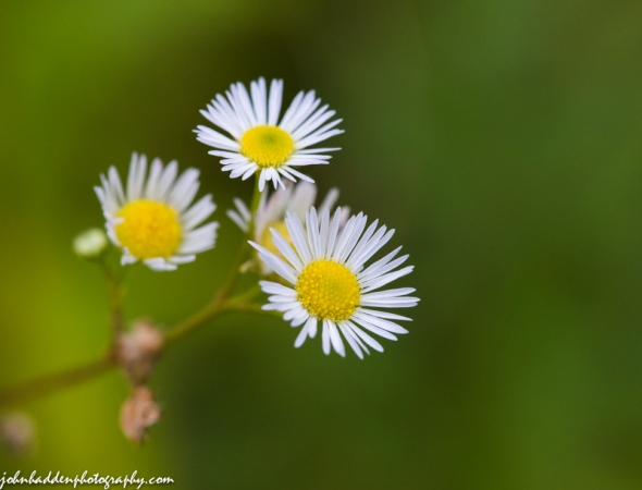 Daisy fleabane blooming in our front field