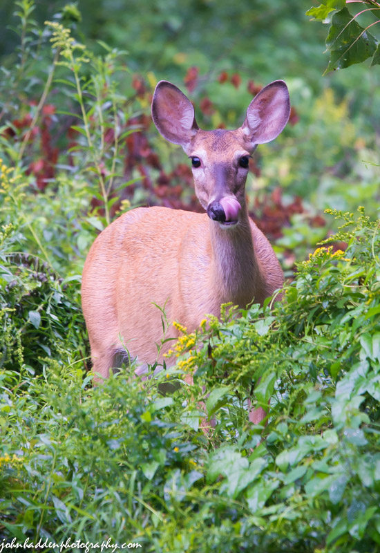 A fat'n'happy doe over by the chicken coop