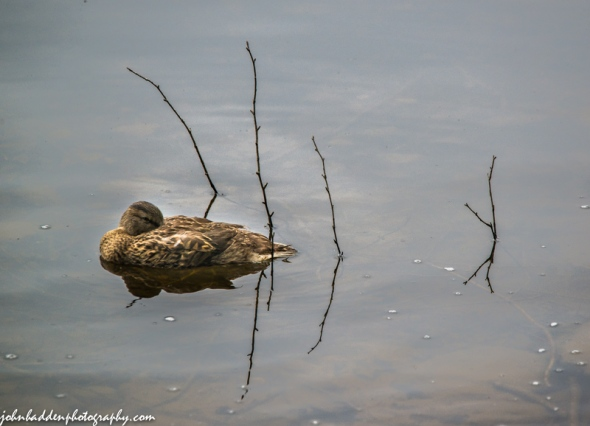 A female mallard catches a morning nap on Indian Lake