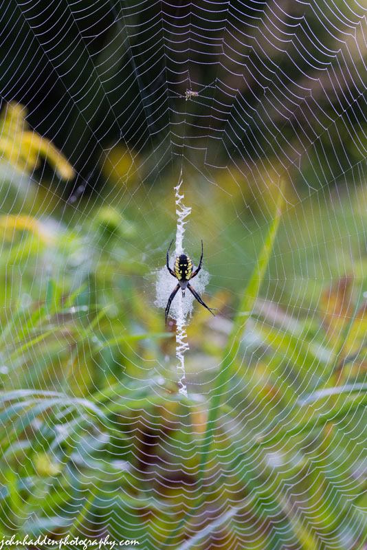 A garden spider in her web along out in the front field