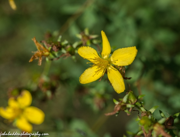 St. John's-wort blooming in Jonesville