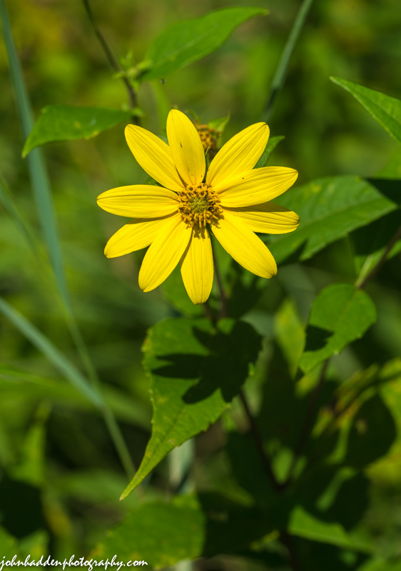 woodland-sunflower
