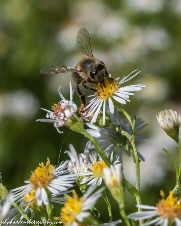 A honey bee works a flat topped white aster in the front field.