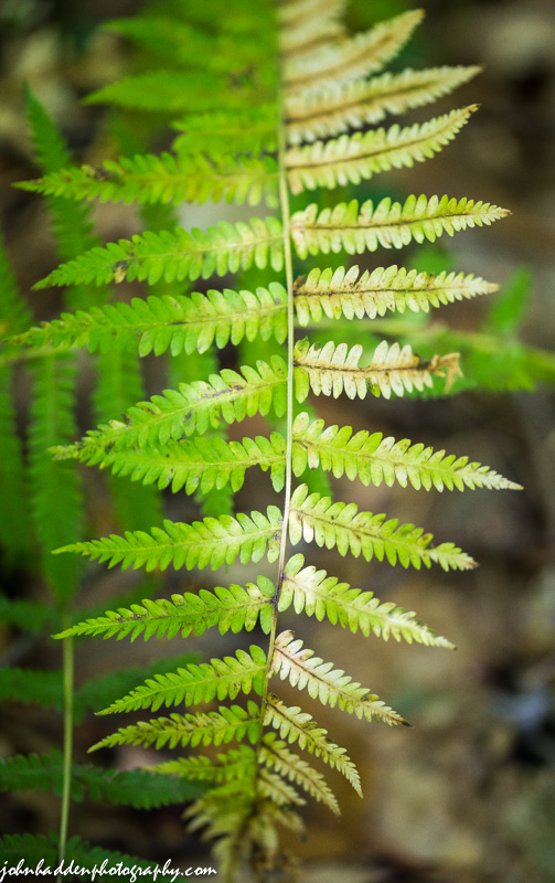 A wood fern fades from green to yellow