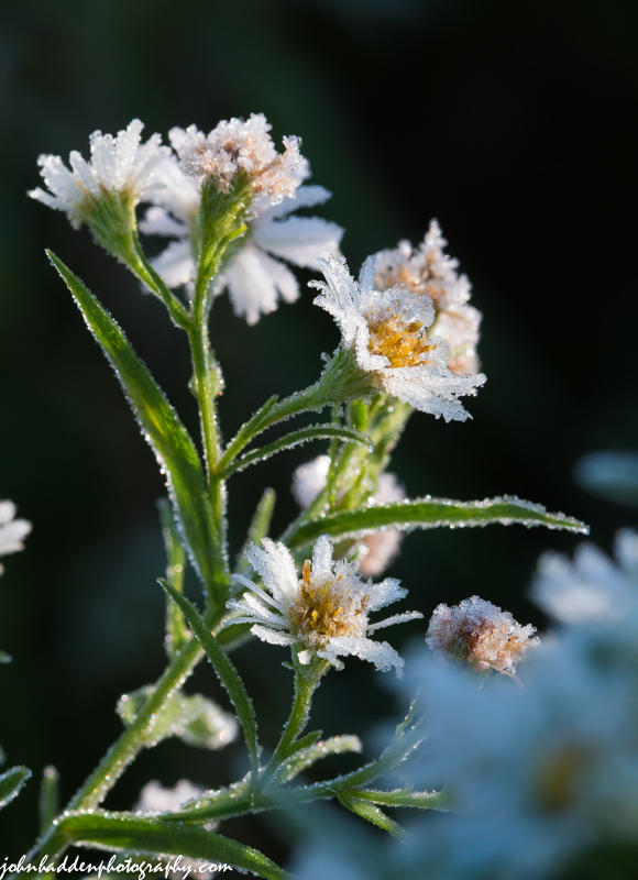 Frosted white asters in the front field yesterday morning.