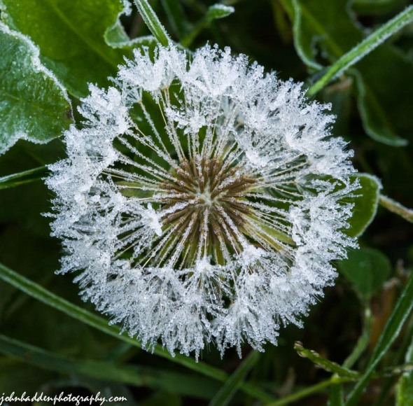 A frosted dandelion on the volleyball court