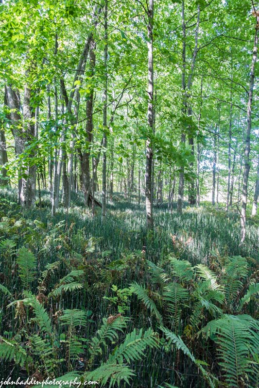 A forest of horsetails along the Winooski River