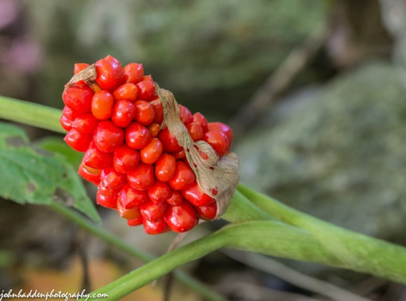 Bright red Jack-in-the-pulpit berries along East Street.