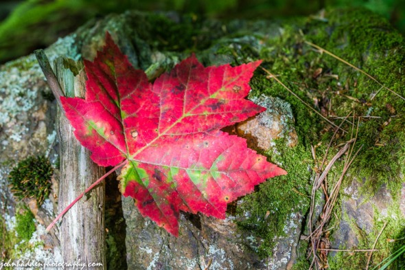 A bright red maple leaf on a mossy rock