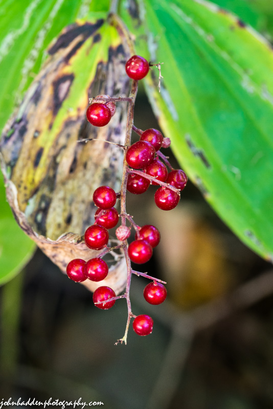 Bright red false Solomon's Seal berries
