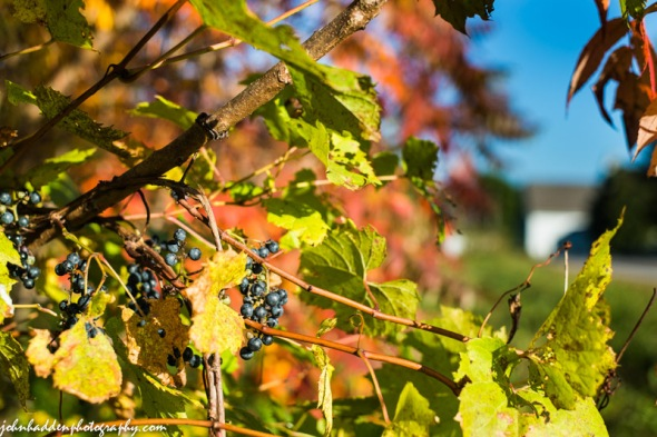 Wild grapes and sumac in the morning sun