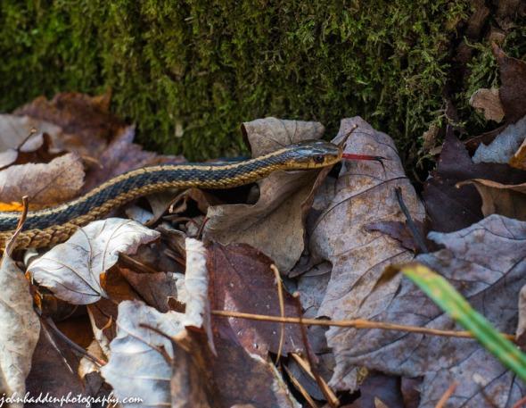 A garter snake prowls the leaf litter