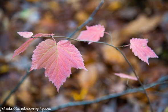 Pale pink maple leaves
