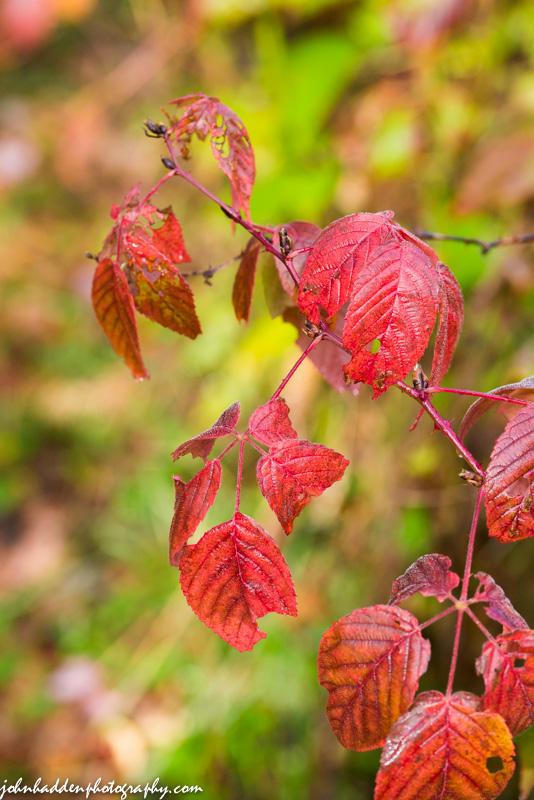 raspberry-leaves