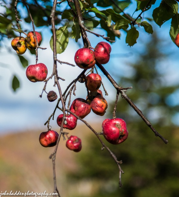 Bright red wild apples