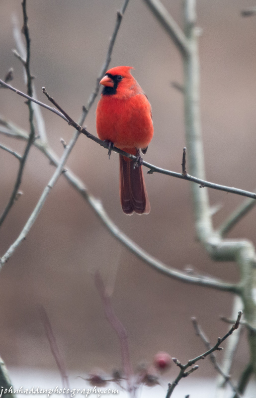 A cardinal waits its turn in the apple tree near the feeders