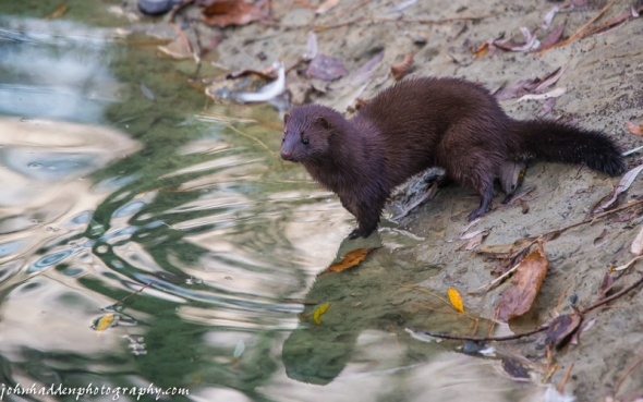 A long tailed weasel visits our pond