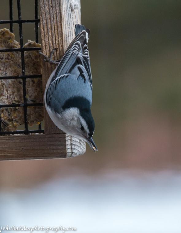 A nuthatch works the suet feeder