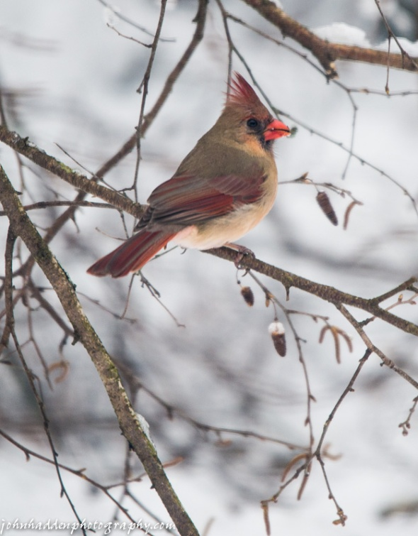 The female of our cardinal pair