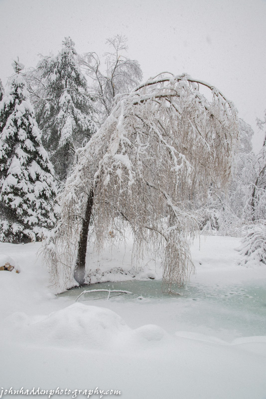 A snow-laden willow by the pond