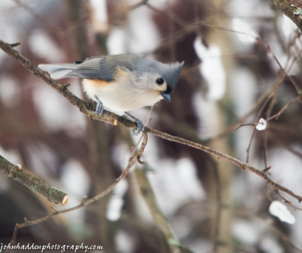 A tufted titmouse eyes the feeder before dropping in