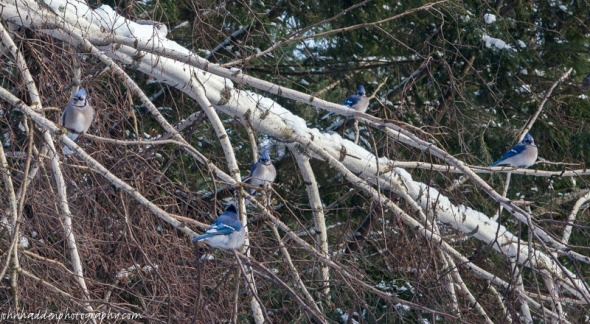 Five bluejays queue for the feeders
