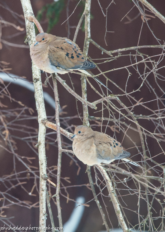 A pair of mourning doves near the feeders