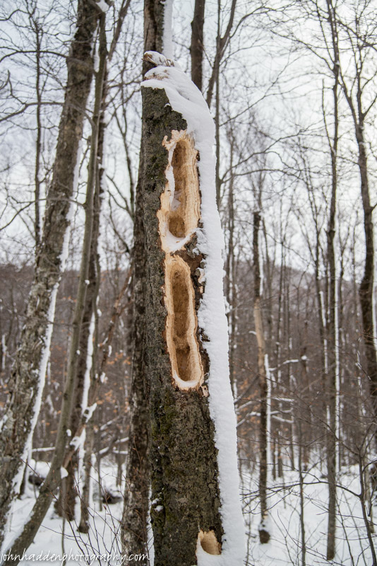 Tell-tale signs of pileated woodpeckers at work
