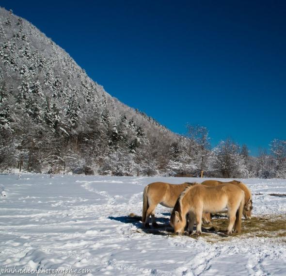 Norwegian Fjords horses munch hay near the head of Gillette Pond