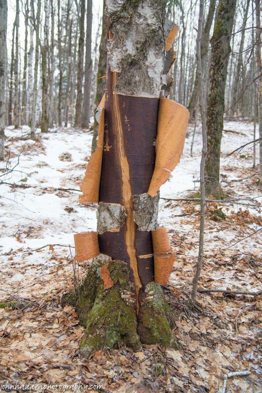 A dramatically torn birch tree...
