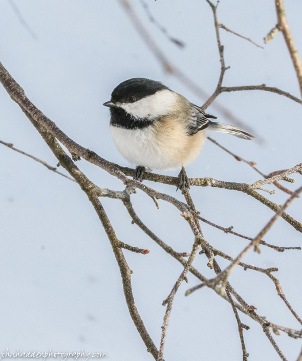 A chickadee pauses briefly before heading to the feeder